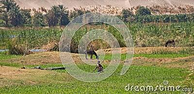 Nile shore Editorial Image