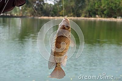 Nile tilapia (Oreochromis niloticus)