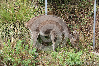 Nilgiri Tahr grazing