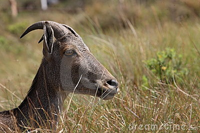 Nilgiri tahr sambar deer