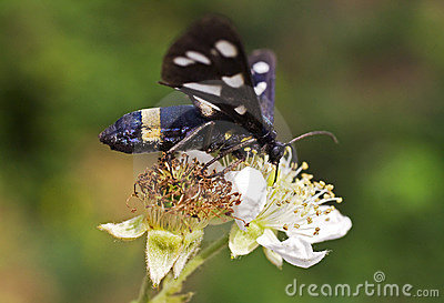The Nine-spotted moth on a white flower