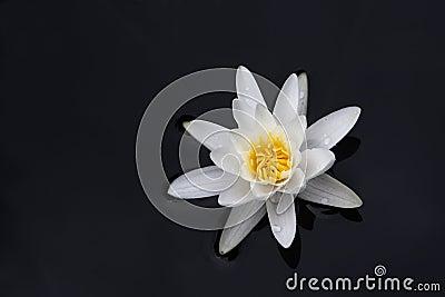 Ninfea bianca