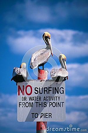 Ningunos pelícanos que practican surf
