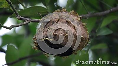 Ninho incompleto da vespa filme