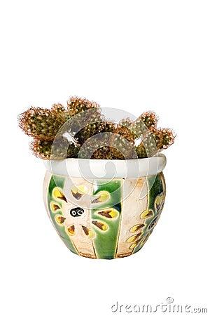 Nipple-cactus