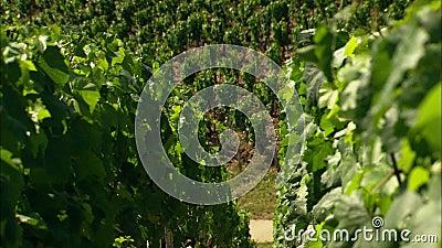 Żniwo na winnicy w Francja zdjęcie wideo