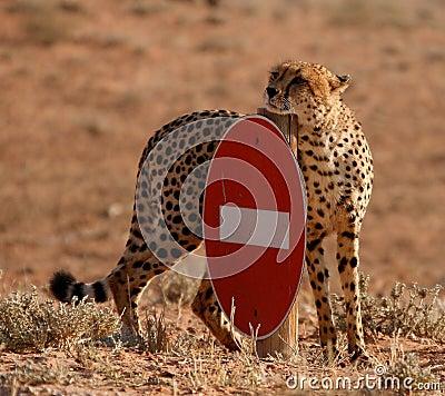 Free No Entry Cheetah Stock Photography - 25293792