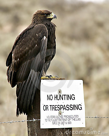 Free No Hunting – Golden Eagle Royalty Free Stock Photography - 799787
