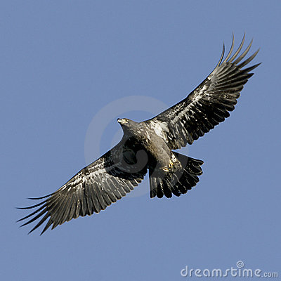 No maduro joven del águila calva