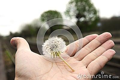 No wind today Dandelion stop in hand