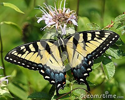 No3 della farfalla