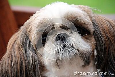 Noble dog with the sad eyes