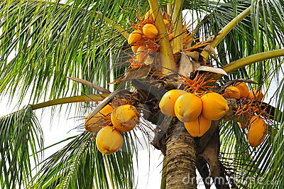 Noci di cocco ad un albero