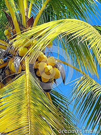 Noci di cocco in un albero
