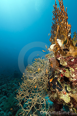 Noded horny coral in the Red Sea.