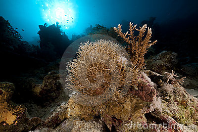 Noded horny coral and sun in the Red Sea.