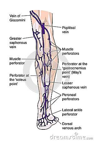Nogi posterior żyły