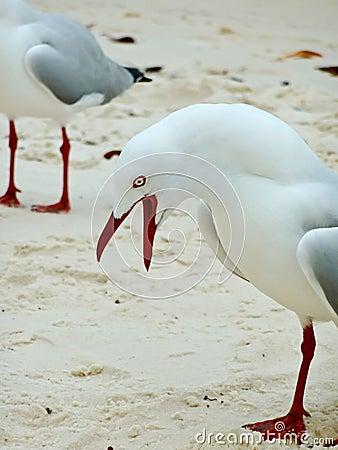 Free Noisy Seagull Stock Photo - 16455950