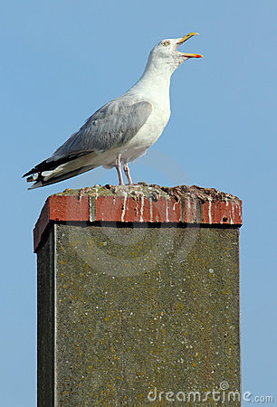 Noisy Seagull With Its Beak Wide Open. Stock Photos - Image: 16174113