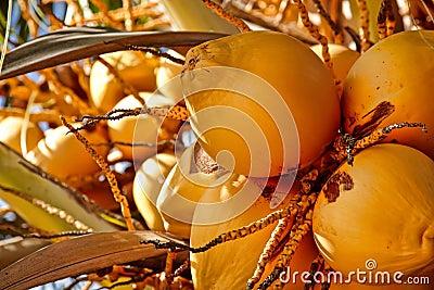 Noix de coco sur l arbre