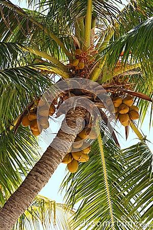 Noix de coco sur un arbre de noix de coco photos libres de droits image 22798078 - Arbre noix de coco ...