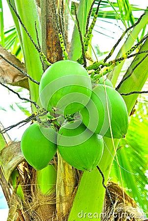 Noix de coco vertes