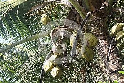 Noix de coco vertes s arrêtant sur l arbre