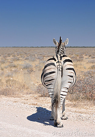 The nonchalant zebra