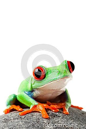 逗人喜爱的青蛙查出的岩石白色