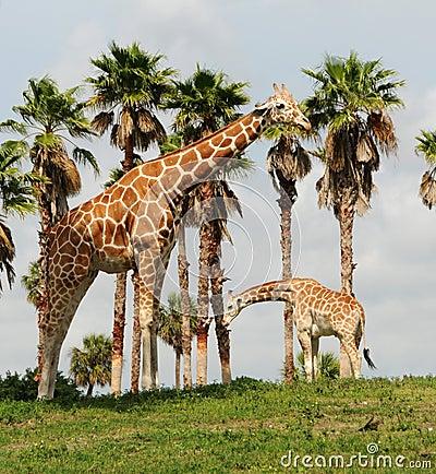 通配的长颈鹿