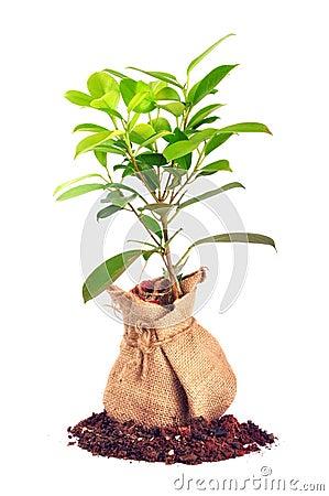 φυτό τσαντών