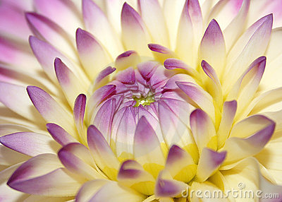 μακρο ροζ λουλουδιών