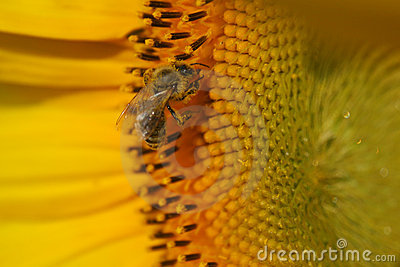 ηλίανθος μελισσών