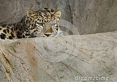 阿穆尔河豹子