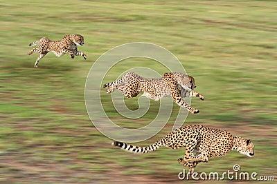бежать гепардов