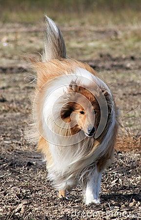 品种大牧羊犬
