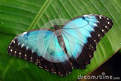 充满活力蓝色的蝴蝶
