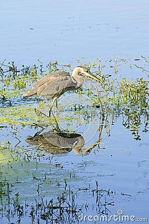 伟大蓝色的苍鹭的巢偷偷靠近