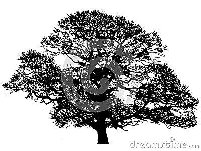 橡木剪影冬天
