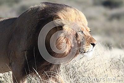 狮子四处寻觅