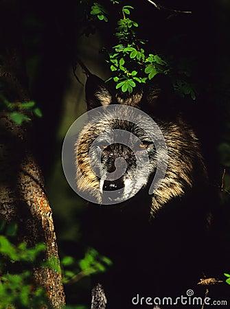 волк портрета