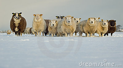 снежок овец