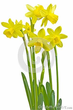 微型的黄水仙