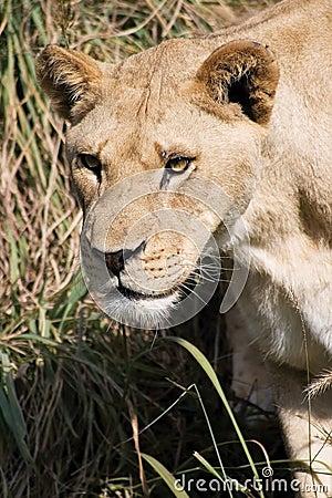 狮子偷偷靠近