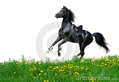 阿拉伯域疾驰公马