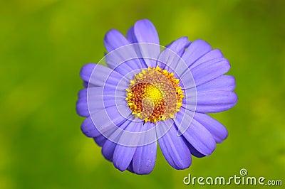 春黄菊唯一白色