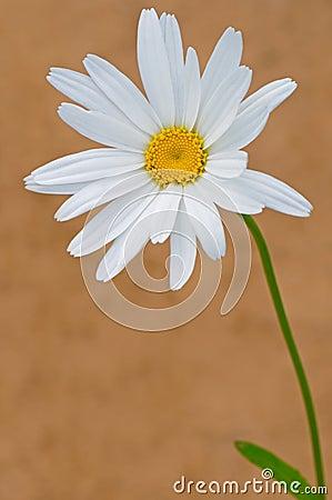 唯一的春黄菊