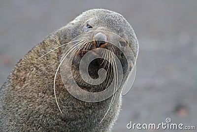 南极南极洲毛皮长的密封颊须