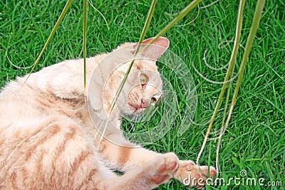 γάτα καστανόξανθη
