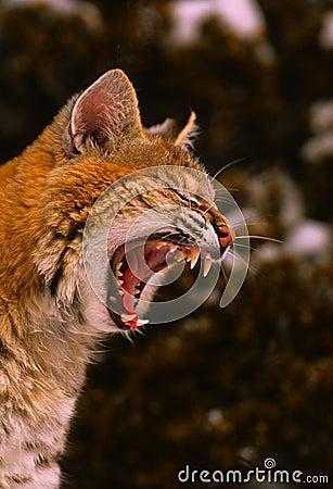 打呵欠的美洲野猫